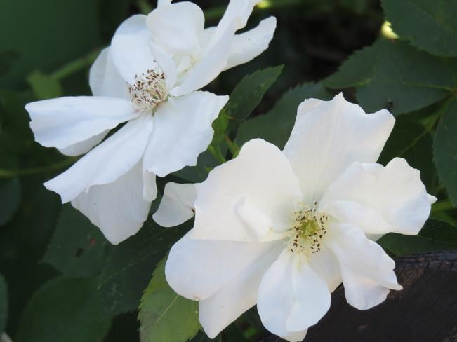 Garden Roses Brandon, MB