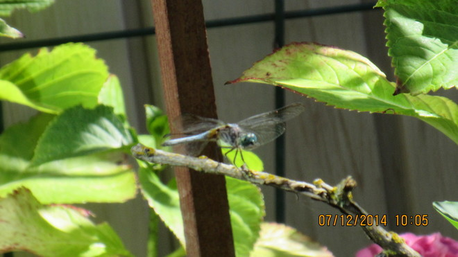 Beautiful dragonfly Victoria, BC