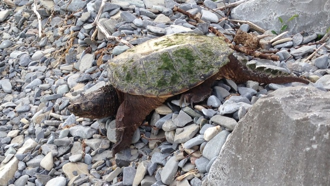 snapping turtle Kingston, Ontario Canada