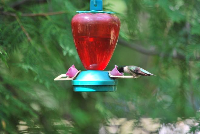 Hummingbird Oshawa, ON
