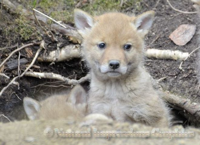 Wolf Puppies Cooking Lake-Blackfoot Provincial Recreation Area, Sherwood Park, AB