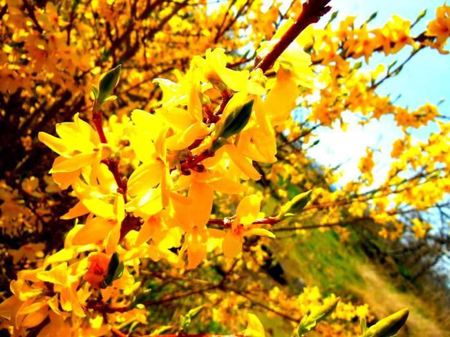 Mount Tolmie Flowering Bush Saanich, BC