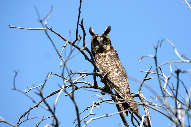Long Eared Owl Olds, AB