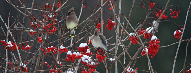Cedar Waxwings and Cranberries Campbellcroft, ON