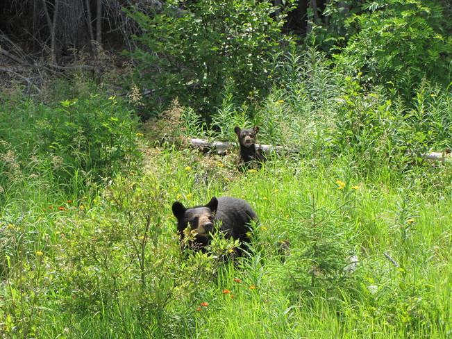 Black bear and cub Foleyet, ON