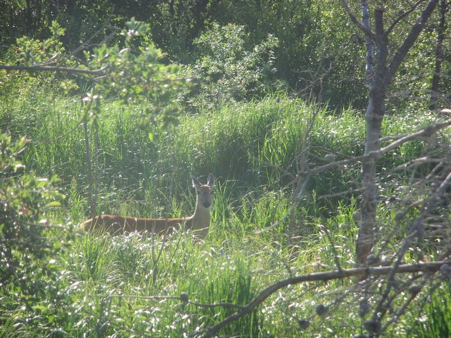 Deer grazing, riding Mountain National Park Portage la Pairie, MB