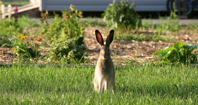 Ms. Hare about to eat my garden contents - poses for a photo. Edmonton, AB
