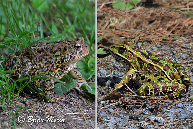 Toad vs Frog South Lancaster, Ontario Canada
