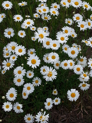Happy Daisies! Norway Lake, Kenora, Unorganized, ON