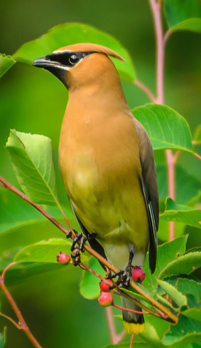 Cedar Waxwing Parry Sound, ON