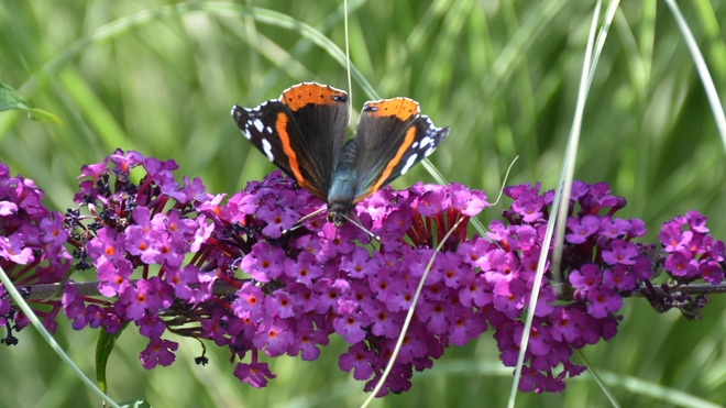 Beautiful Red Admiral Butterfly! St. Catharines, ON