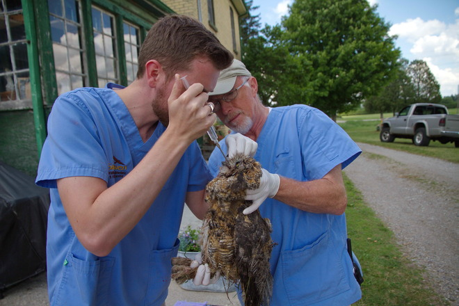 Injured Great Horned Owl London, ON