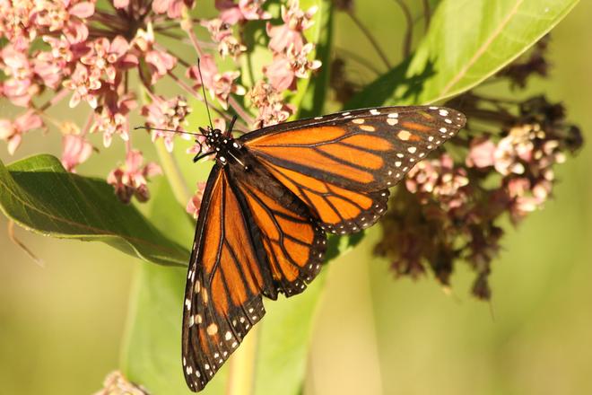 Monarch Butterfly Kingston, ON