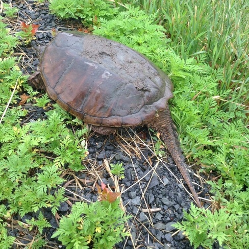 Snapping Turtle takes a stroll Williamstown, ON