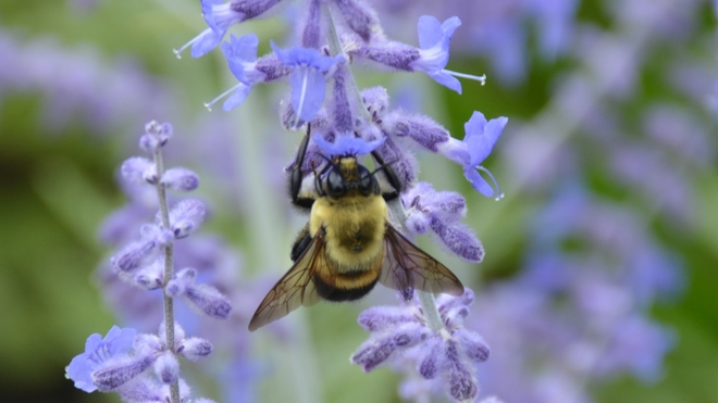 Bumble Bee in Lavender patch! St. Catharines, ON