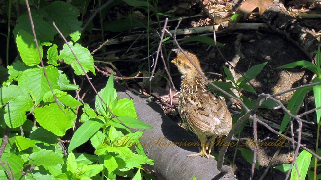 Baby Ruffed Grouse Cabot Trail, Cape North, NS