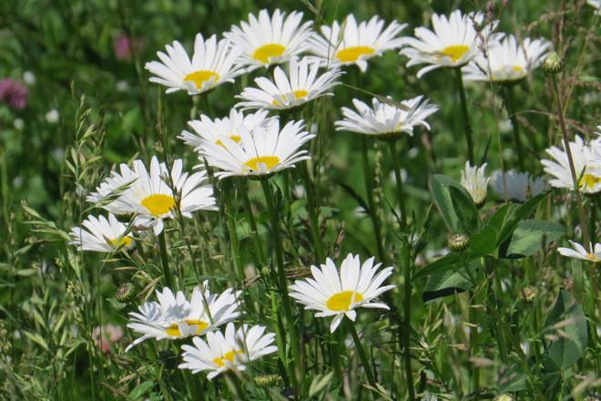 wildflowers Dieppe, NB