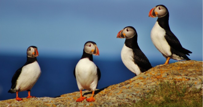 A group of Puffins. St. John's, NL