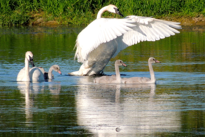 Those Cygnet Wings will be this BIG soon