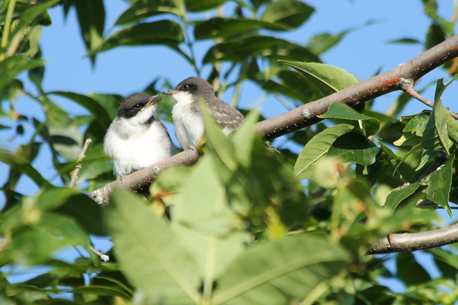 Eastern Kingbird Babies Kingston, ON