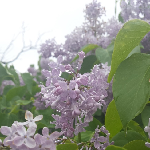 dew on lilacs Lemberg, SK