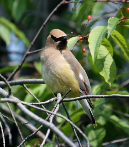 Cedar Waxwing Timmins, ON