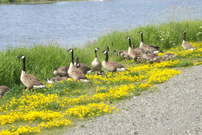 CANADA GEESE MUNCHING Thunder Bay, ON