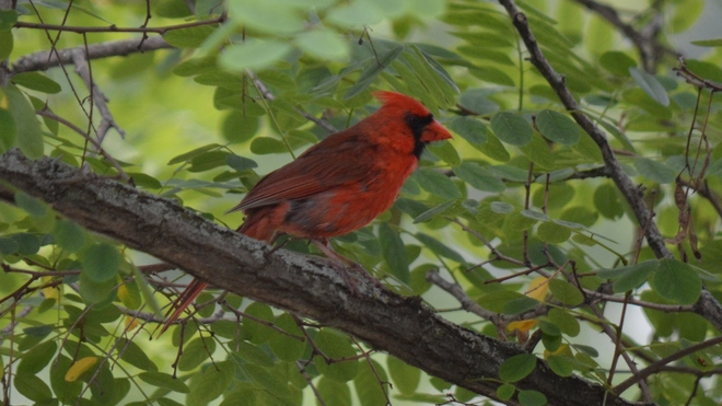 Male Cardinal! St. Catharines, ON