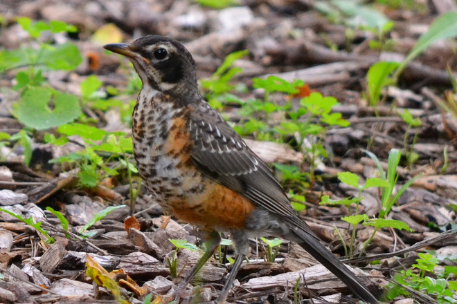 YOUNG ROBIN Burlington, ON