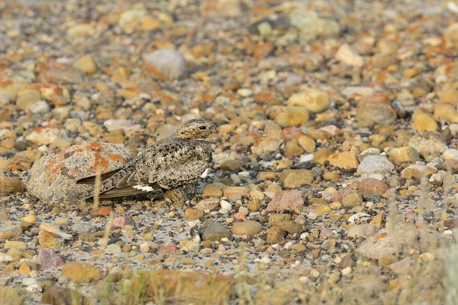 A Hawk? Brooks, Alberta