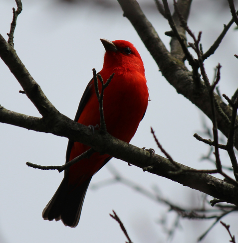 Scarlet Tanager 1701-1937 Elm Street, Welland, ON L3B 5K7, Canada