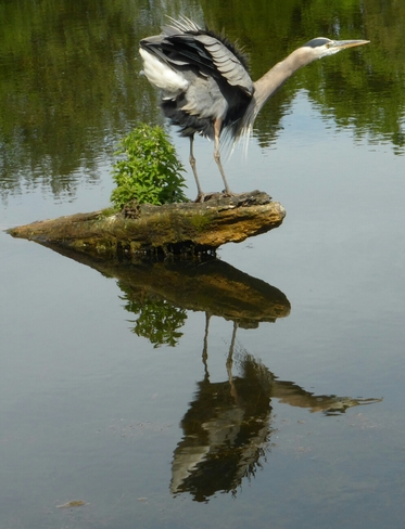 Great Blue Heron at Stanley Park Vancouver, BC