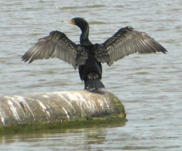 A cormorant stretching his wings Vancouver, BC