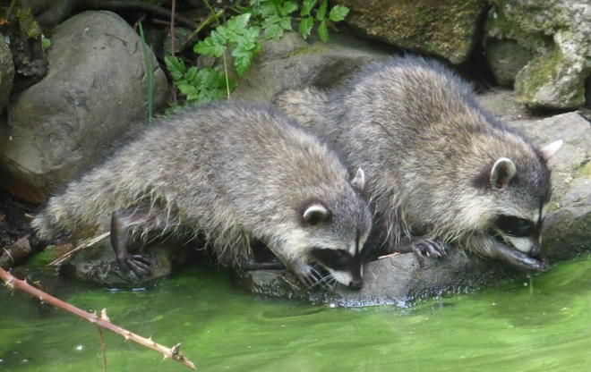 Thirsty raccoon cubs Vancouver, BC