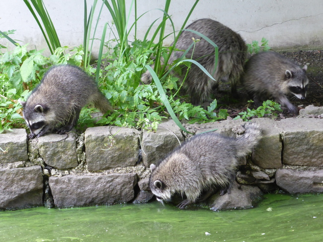 Thirsty raccoon cubs