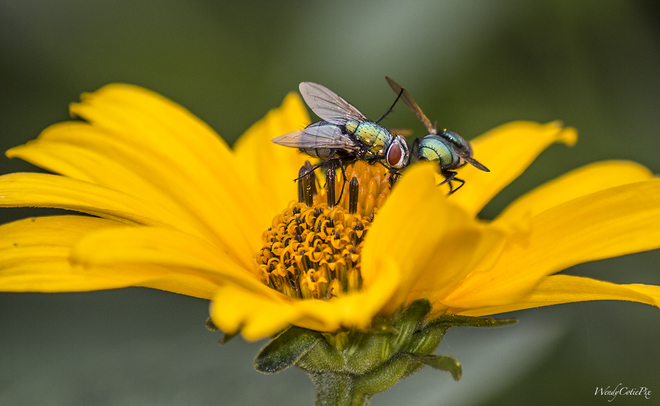Flies and other insects replacing Bees as pollinators Ottawa, ON