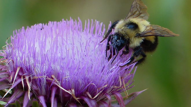 Bumble bee in a thistle flower Grand Forks, BC
