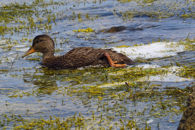 Young American Black Duck Schnare Cove, Chester, NS