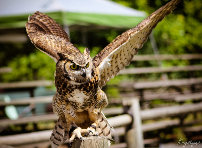 horned owl Aldergrove, Langley, BC