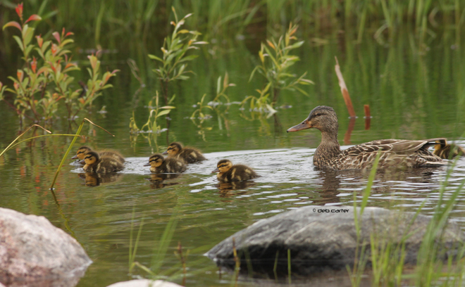 Mallard with ducklings Sioux Lookout, ON