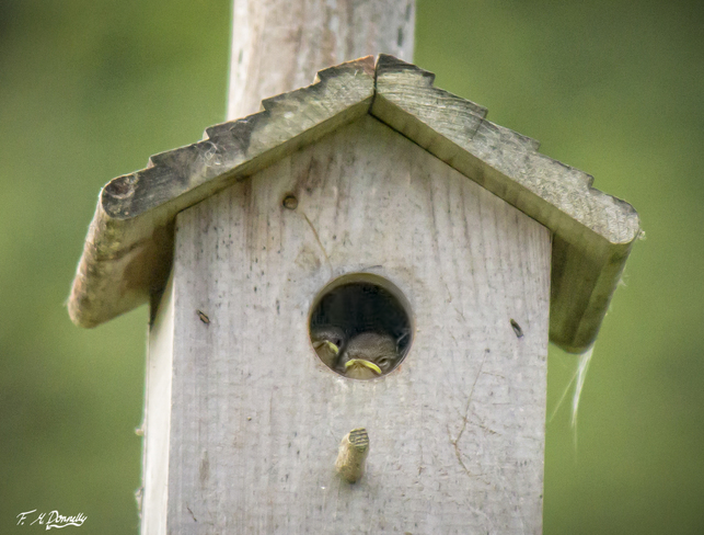 Wee little house wren chicks Port Elmsley, ON