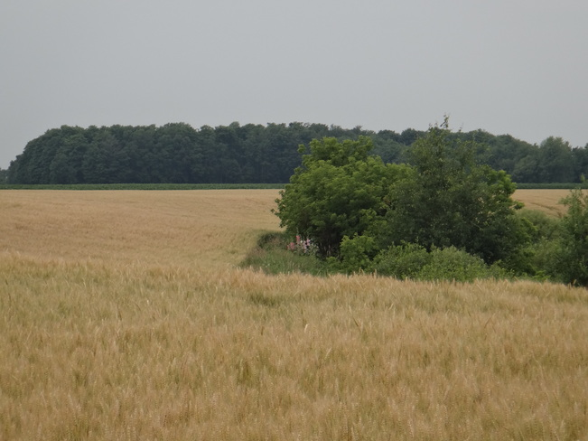 Field. Clifford, Minto, ON