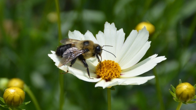 Bumble bee in a Daisy! St. Catharines, ON