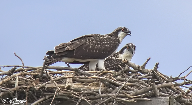 The Osprey Chicks are Almost Adults! Smiths Falls, ON