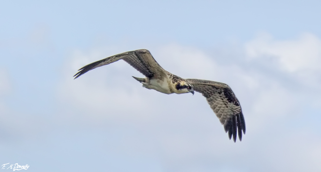 Adult Osprey Returning to the Nest Smiths Falls, ON