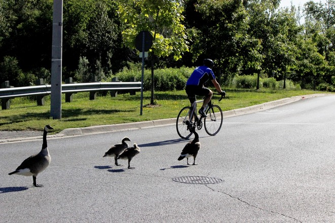 Young Canada Geese and road ! Richmond Hill, ON