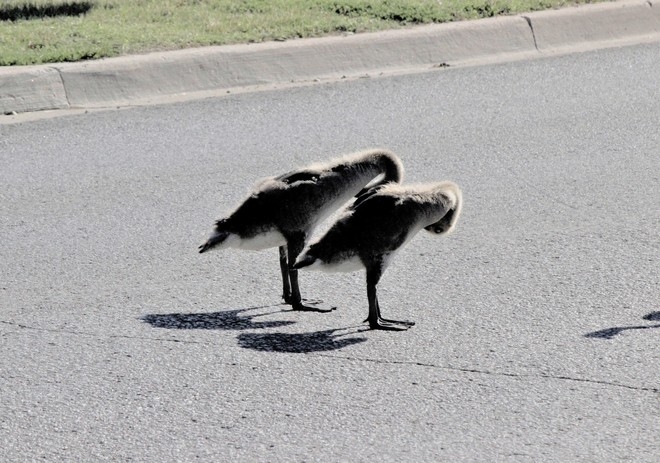 Young Canada Geese on the road ! Richmond Hill, ON