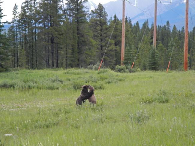young grizzly bears Kananaskis, AB