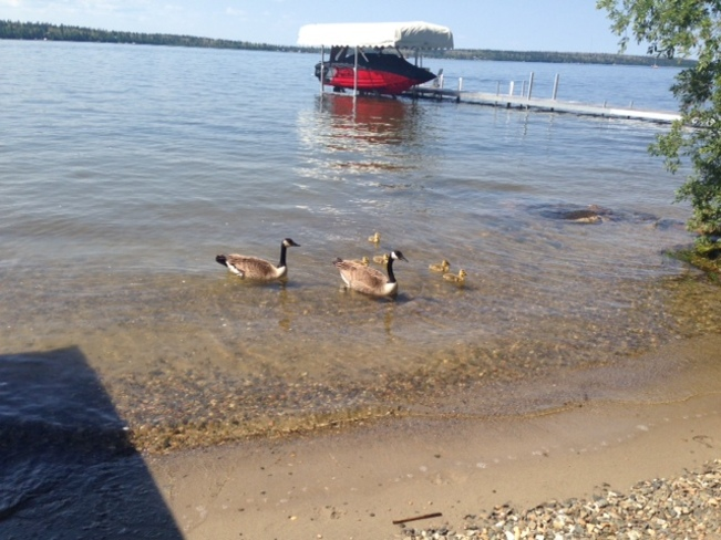 Geese at the beach Christopher Lake, SK