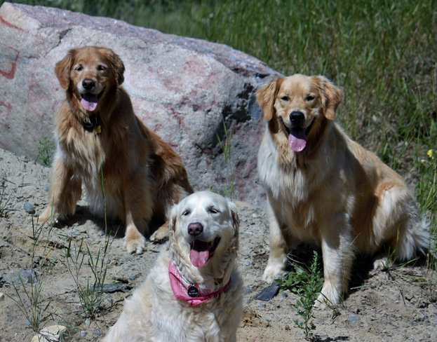 Smiling Goldens Timmins, ON